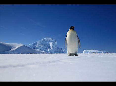 your-antarctica-photo_3_auster-rookery-juvenile-emperor-penguin-antarctica_34418